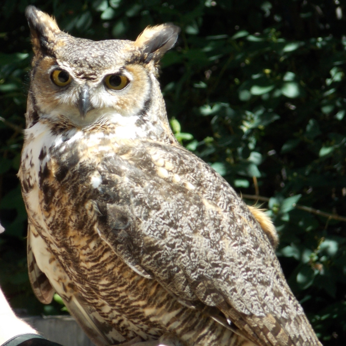 Teasdale the Great-Horned Owl