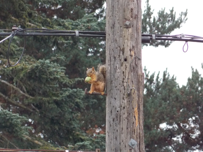 Squirrel on a power pole