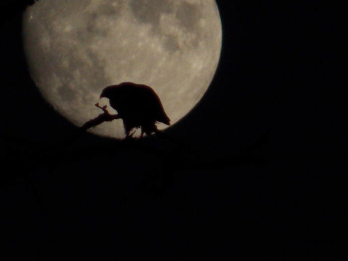 Osprey Under The Full Moon