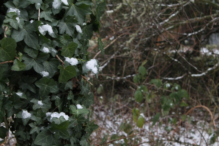 Snow-Covered Ivy